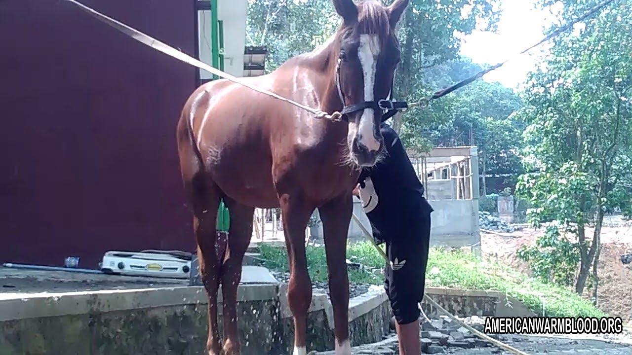 Tidak Hanya Makan Dan Minum Saja Berikut Perawatan Untuk Kuda Pacu